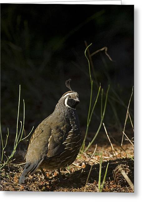 A Male California Quail Stands Greeting Card by Taylor S. Kennedy