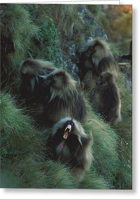 A Male Gelada, With A Group Of Females Greeting Card by Michael Nichols