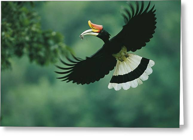 A Male Rhinoceros Hornbill Delivers Greeting Card by Tim Laman