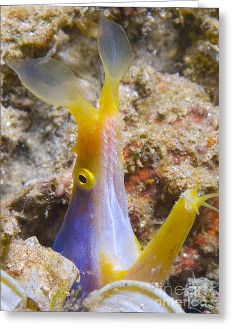 A Male Ribbon Eel Peering Greeting Card by Steve Jones