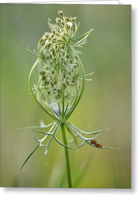 Greeting Card featuring the photograph A Meal Of Lace by JD Grimes