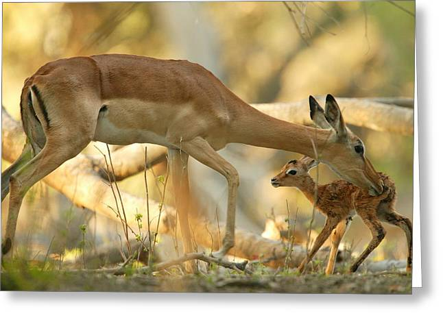 A Mother Antelope Grooming Her Baby Greeting Card
