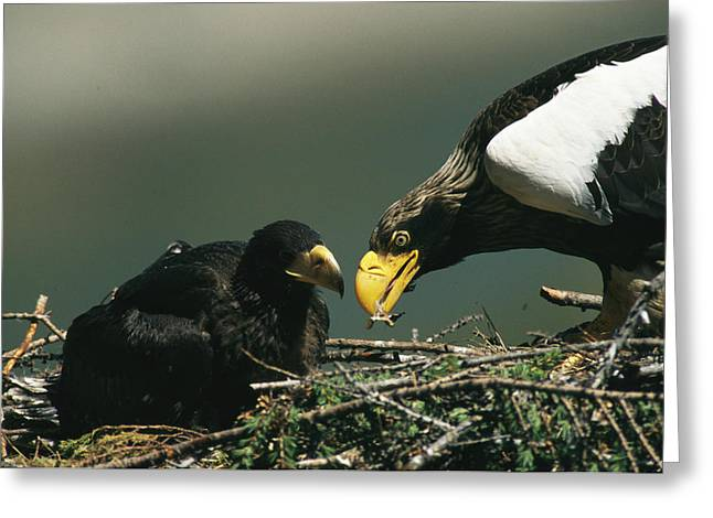 A Mother Stellers Sea Eagle Feeds Greeting Card by Klaus Nigge