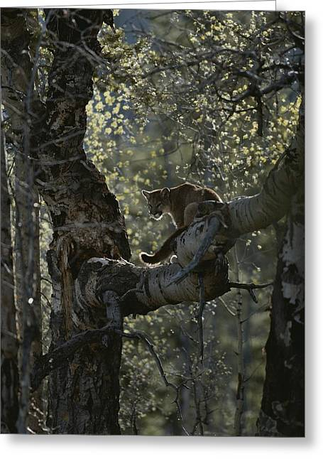 A Mountain Lion, Felis Concolor, Climbs Greeting Card by Jim And Jamie Dutcher
