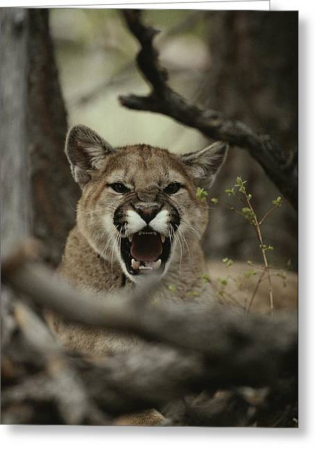 A Mountain Lion, Felis Concolor, Snarls Greeting Card by Jim And Jamie Dutcher