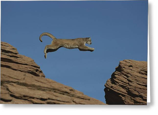 A Mountain Lion Leaps From A Rocky Greeting Card