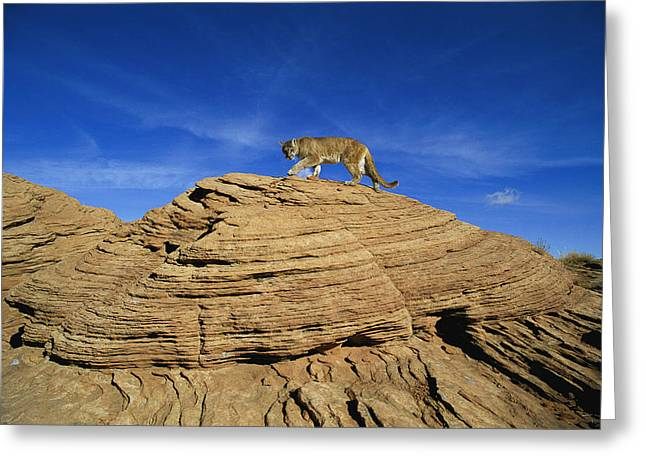 A Mountain Lions Walks Across This Greeting Card by Norbert Rosing