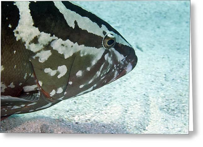 A Nassau Grouper Swims Along The Ocean Greeting Card