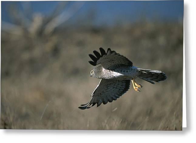 A Northern Harrier Hawk In Flight Greeting Card
