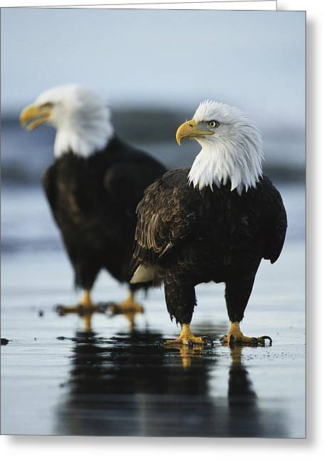 A Pair Of American Bald Eagles Stand Greeting Card by Klaus Nigge