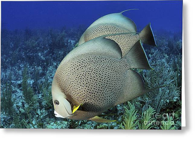 A Pair Of Gray Angelfish On A Caribbean Greeting Card by Karen Doody