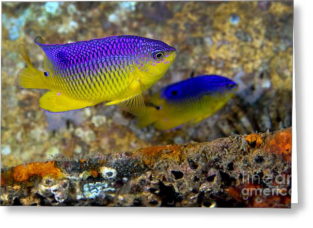 A Pair Of Juvenile Cocoa Damselfish Greeting Card by Michael Wood