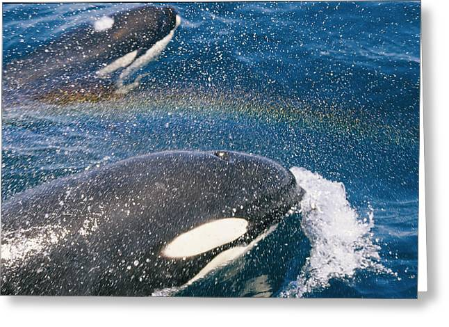 A Pair Of Killer Whales Swimming Greeting Card by Jason Edwards