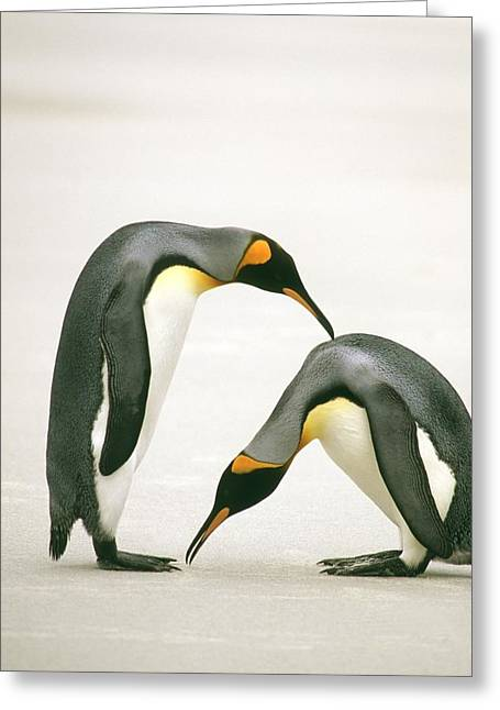 A Pair Of King Penguins In A Courtship Greeting Card by Ralph Lee Hopkins