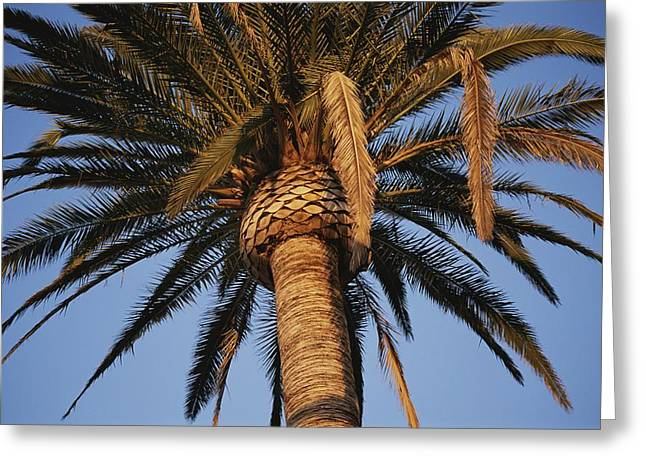 A Palm Tree In Early Morning Light Greeting Card by Stephen St. John