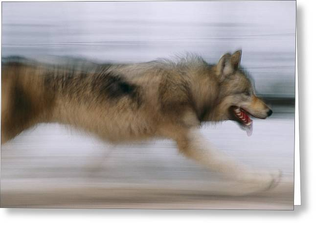 A Panned Shot Of A Gray Wolf, Canis Greeting Card by Joel Sartore