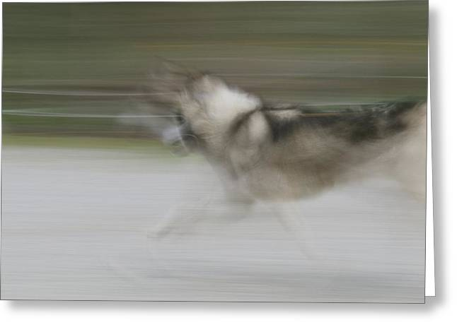 A Panned View Of A Sled Dog Running Greeting Card by Rich Reid