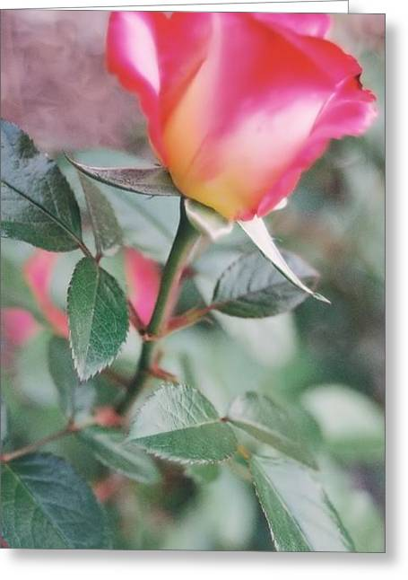 Greeting Card featuring the photograph A Perfect Rose by Lynnette Johns