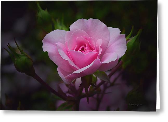 A Pink Rose Greeting Card by Xueling Zou