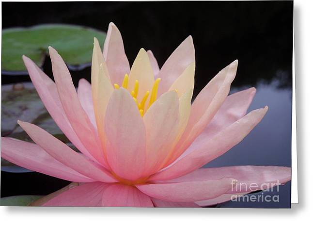 A Pink Water Lily Greeting Card by Chad and Stacey Hall