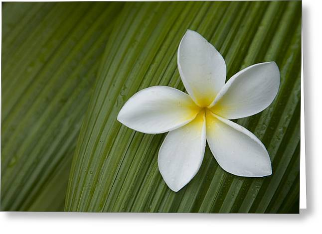 A Plumeria Flower Used In Making Leis Greeting Card