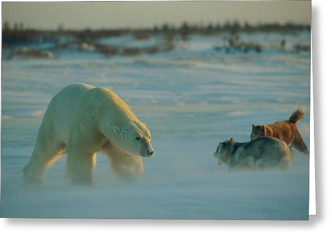 A Polar Bear Ursus Maritimus And Two Greeting Card by Norbert Rosing