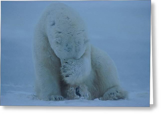 A Polar Bear Ursus Maritimus Hides Greeting Card by Norbert Rosing