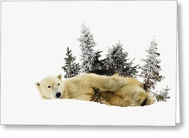 A Polar Bear Ursus Maritimus Greeting Card by Richard Wear
