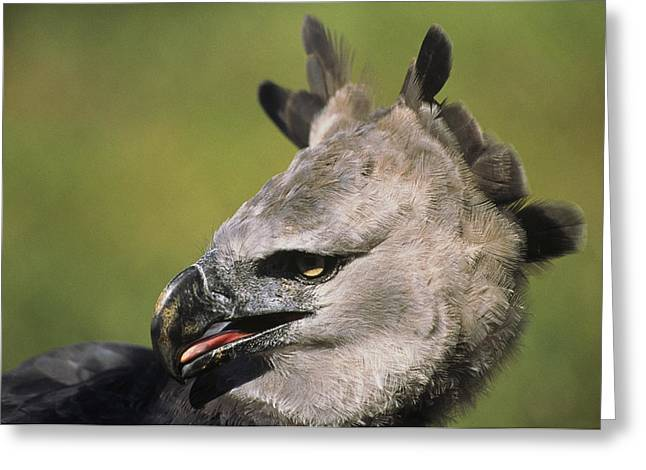 A Portrait Of A Harpy Eagle Greeting Card