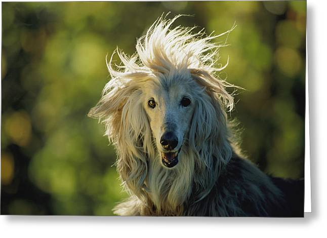 A Portrait Of An Afghan Hound Greeting Card by Joel Sartore
