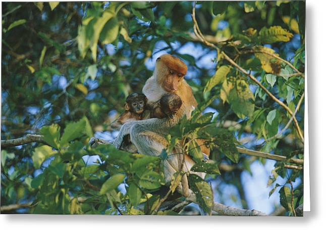 A Proboscis Monkey With Her Twin Greeting Card by Tim Laman