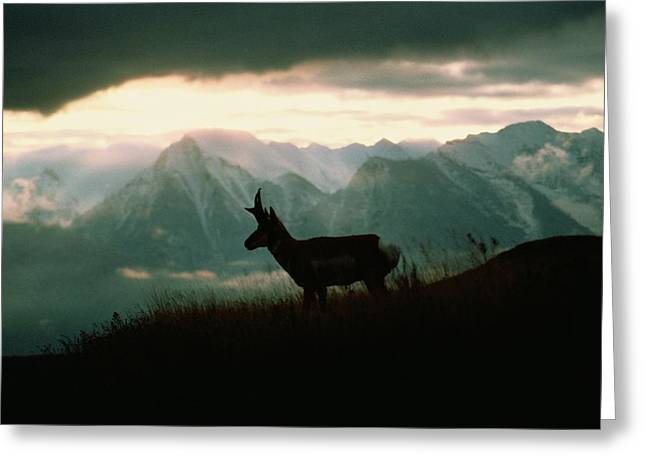 A Pronghorn Stands On A Grassy Hillside Greeting Card by Sam Abell