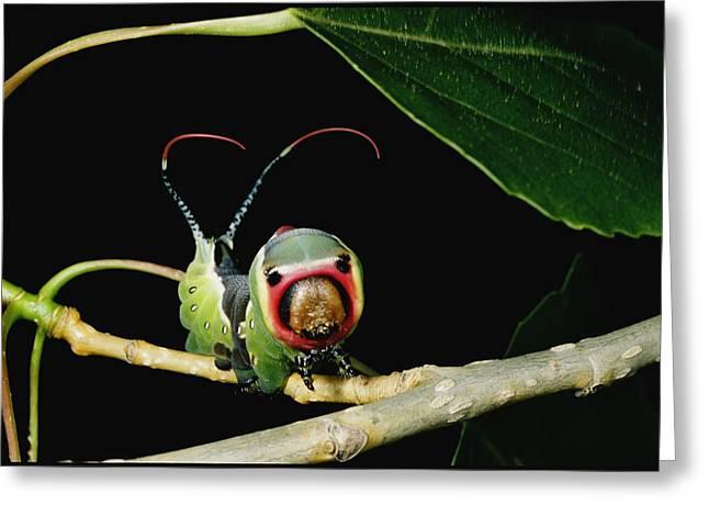 A Puss Moth Caterpillar Cerura Vinula Greeting Card by Darlyne A. Murawski
