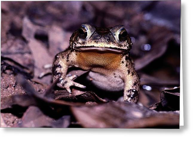 A Rain Forest Toad Of The Family Greeting Card by Mattias Klum