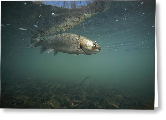 A Rainbow Trout Tries To Spit Out A Fly Greeting Card