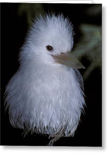 A Rare Albino Kookaburra With White Greeting Card by Jason Edwards