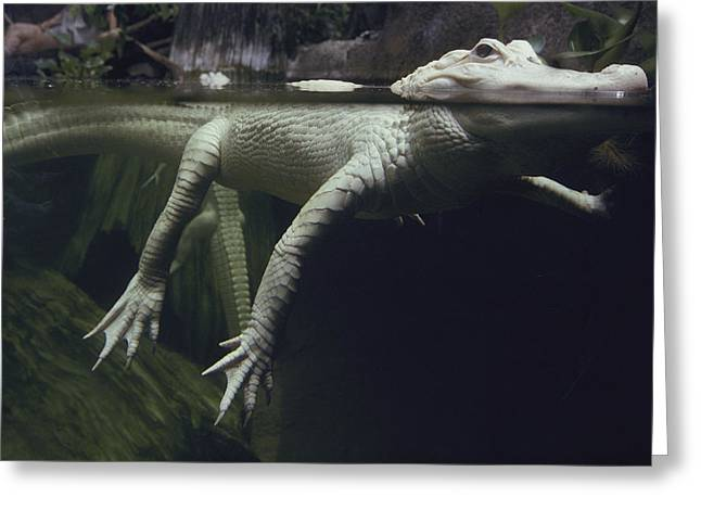 A Rare White Alligator In The Louisiana Greeting Card by Michael Nichols