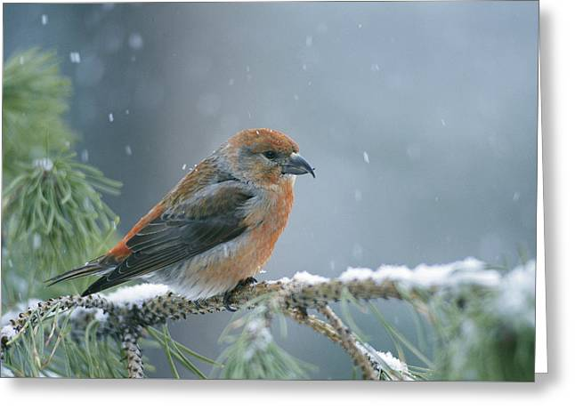 A Red Crossbill Loxia Curvirostra Greeting Card