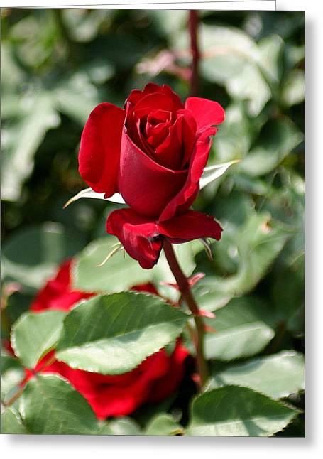 A Red Red Rose Greeting Card by Paula Tohline Calhoun