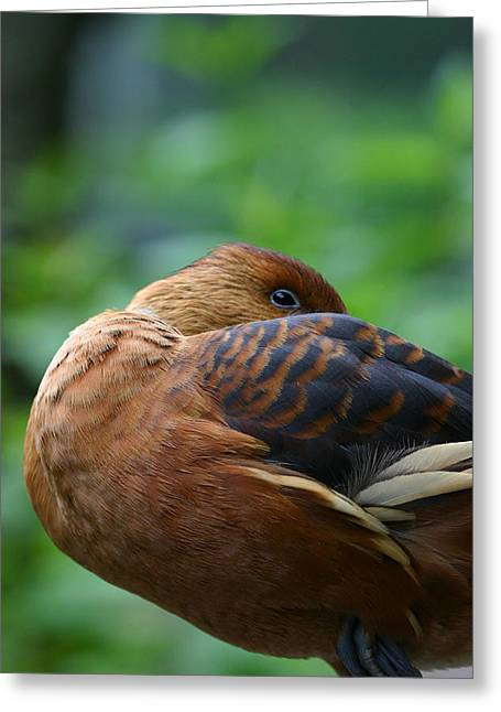 A Resting Fulvous Duck  Greeting Card