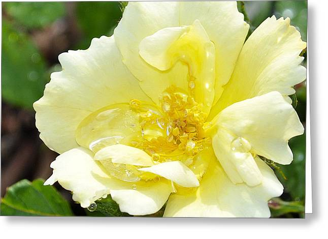 A Rose Is A Rose Rrp Greeting Card by Jim Brage