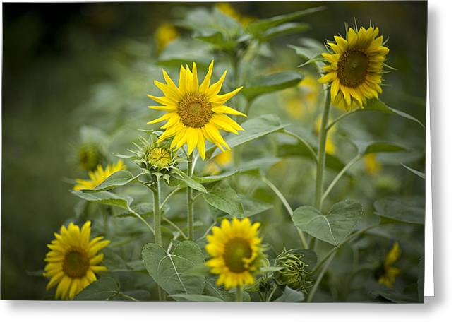 A Row Of Bright Yellow Sunflowers Grow Greeting Card by Hannele Lahti
