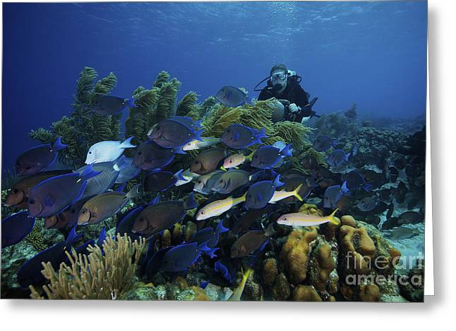 A School Of Blue Tang Feed On The Reefs Greeting Card