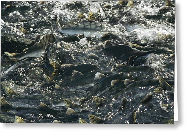 A School Of Pink Salmon Migrating Greeting Card