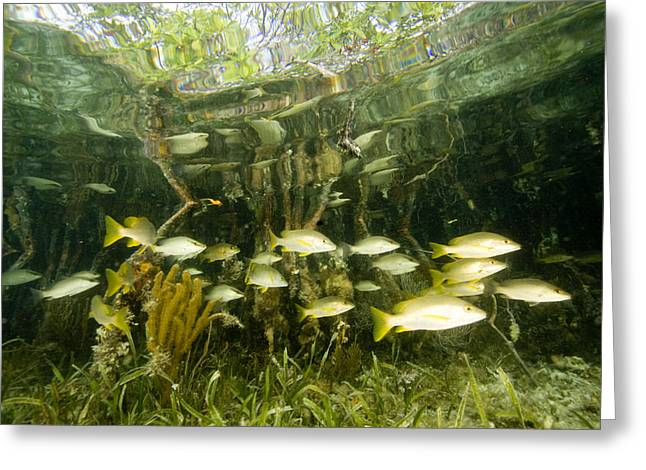 A School Of Snappers Shelters Among Greeting Card by Tim Laman