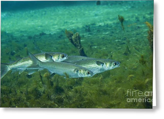 A School Of Striped Mullet Wim Greeting Card by Michael Wood