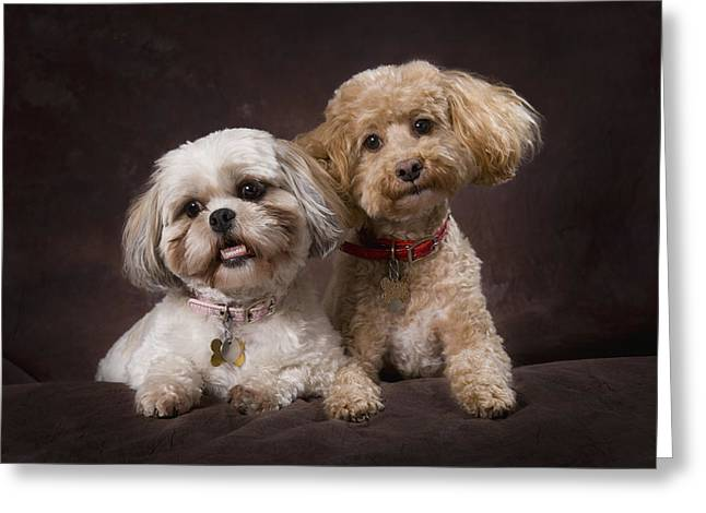 A Shihtzu And A Poodle On A Brown Greeting Card by Corey Hochachka