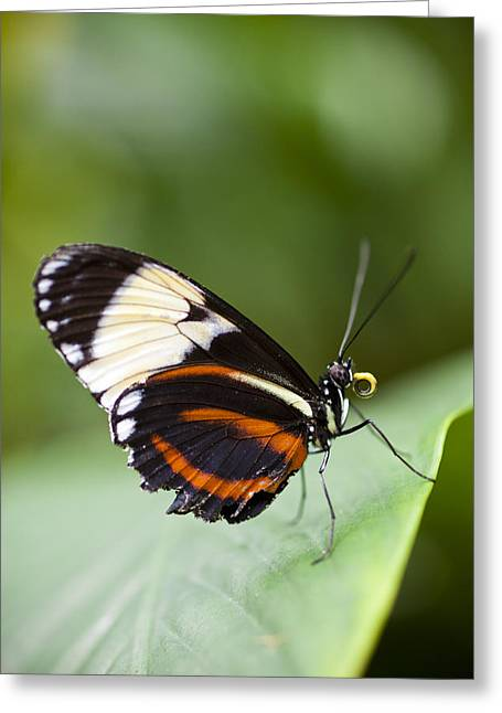 A Side View Of A Butterfly Greeting Card by Taylor S. Kennedy