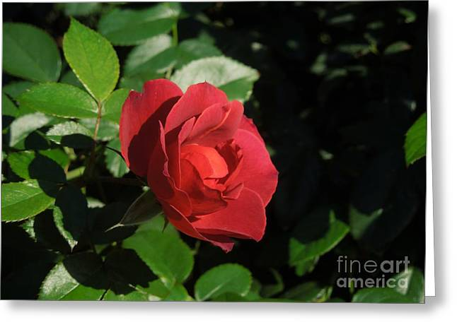 A Single Burgundy Rose Greeting Card by Chad and Stacey Hall