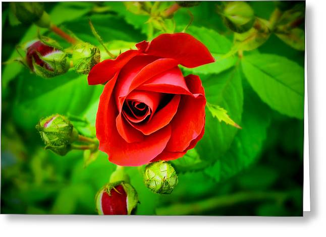 A Single Red Rose Blooming Greeting Card by Chantal PhotoPix